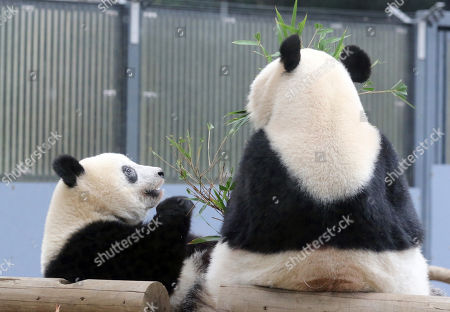 Stock Photo of One year-old female giant panda Xiang Xiang (L) sits next to her mother Shin Shin and eats bamboo leaves together at the Ueno Zoological Gardens in Tokyo