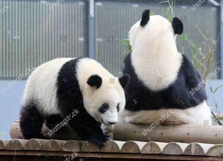 One year-old female giant panda Xiang Xiang (L) plays on a deck while her mother Shin Shin (R) eats bamboo leaves at the Ueno Zoological Gardens in Tokyo