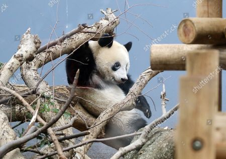 One year-old female giant panda Xiang Xiang plays on a branch of a tree at the Ueno Zoological Gardens in Tokyo