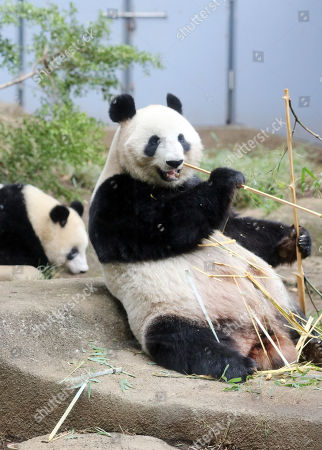 Stock Picture of Female giant panda Shin Shin (R) eats bamboo while her daughter Xiang Xiang (L) approaches at the Ueno Zoological Gardens in Tokyo