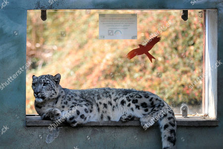 Snow leopard at Usti nad Labem Zoo