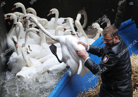 Alster swans move to their winter home, Hamburg